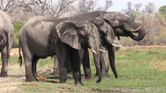 Water splattered elephant bulls drinking at a river Stock Footage