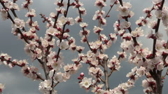 Flowering Apricot, Spring, Sunny Day - stock footage