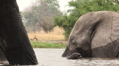 Unusual angle of elephant swimming and framed by legs of another elephant Stock Footage
