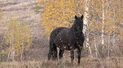 One Horse,black,autumn,open Pasture, Mountains Stock Footage