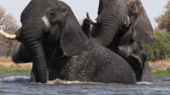Elephants interacting and play fighting while swimming in a river in the Stock Footage