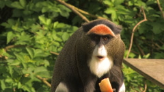 Cheeky Monkey eating fruit! - stock footage