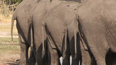 Rear view of elephant tails lined up and drinking at a waterhole Stock Footage