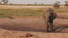 Drought stricken thirsty elephants drinking at natural water seeps - stock footage