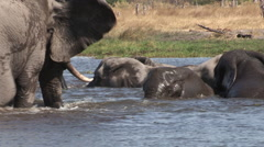 Herd of elephants swimming,playing and interacting in a river in the Okavango Stock Footage