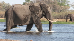 An elephant bull walks into the river and sprays himself with water in the Stock Footage