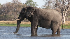 An elephant bull standing in a river in the Okavango Delta and spraying himself Stock Footage
