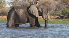 An elephant bull walks into the river in the Okavango Delta Stock Footage