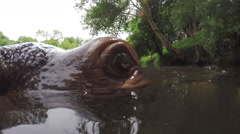 Extreme close-up of hippo face in river Stock Footage