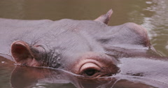 Close-up of hippo's face Stock Footage