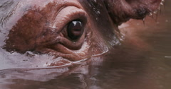 Close-up of hippo's eye Stock Footage