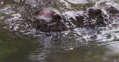 Close-up of hippo's nostrils breathing - stock footage