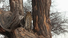 Leopard standing in tree looking away from camera - stock footage