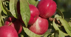 Bunch of red nectarines growing on a fruit tree Stock Footage