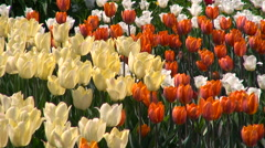 Tulips of Different Colors on a Flowerbed - stock footage