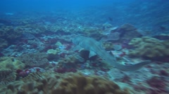 Tawny nurse shark (Nebrius ferrugineus) swimming over coral reef Stock Footage