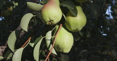 Bunch of pears growing on a fruit tree Stock Footage