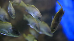 Sea fishes (Sciaena umbra) floats in special tank with lighting. Stock Footage