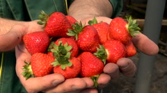 Strawberry Berries in Palms Agronomist Stock Footage