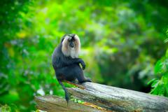Wild Lion-tailed Macaque - stock photo
