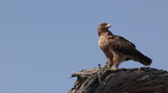 Tawny eagle sitting on tree and taking off Stock Footage