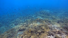 Soft coral reef with cloud of damselfishes Stock Footage