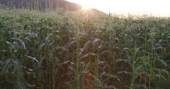 Panoramic backlit shot of cornfield Stock Footage