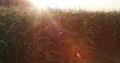Backlit shot of farmer with digital tablet inspecting cornfield Stock Footage