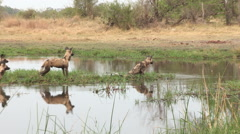 Pack of African wild dog crossing a river in the Okavango Delta Stock Footage