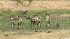 Pack of African wild dog moving alongside a river in the Okavango Delta - stock footage