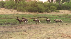 Pack of African wild dog moving alongside a river in the Okavango Delta Stock Footage