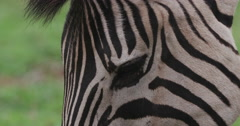 Tight shot of zebra's face while grazing Stock Footage