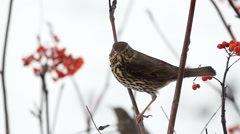 Fieldfare pecking a mountain ash berries sitting on a branch - stock footage