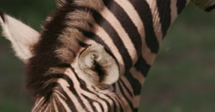 Close-up of zebra's ears Stock Footage