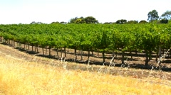 Rows of grape vines, side view. Stock Footage