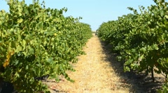 Rows of grape vines, centre track Stock Footage