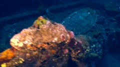 Hawksbill turtle (Eretmochelys imbricata) eating Stock Footage