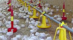 Flock of turkeys on farm Arkistovideo