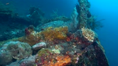 Hawksbill turtle (Eretmochelys imbricata) swimming on USAT Liberty Wreck Stock Footage