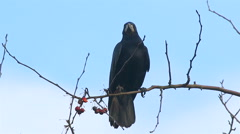 Rook sitting tree eating berry Stock Footage