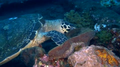 Hawksbill turtle (Eretmochelys imbricata) looking for food Stock Footage