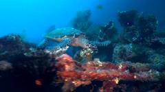 Hawksbill turtle (Eretmochelys imbricata) swimming on USAT Liberty Wreck Stock Footage