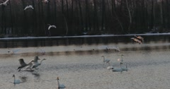 Flock of swans landing on the lake at sunset - stock footage