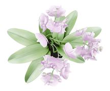 Top view of orchid flowers in pot isolated on white background Stock Illustration