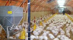 Farmer and small turkeys on farm Arkistovideo