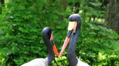 Saddle-Billed Stork Stock Footage