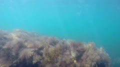 Swimming underwater through floating jellies and brown algae in sea water Stock Footage