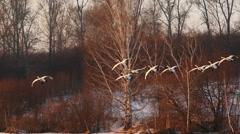 Slow motion landing Swans to lake at sunset - stock footage