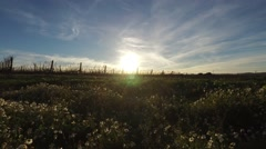 Walking by field flowers in spring sunset, steady shot Stock Footage