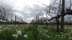 vineyards in winter with daisies flowers on a cloudy day steady cam gimbal - stock footage
